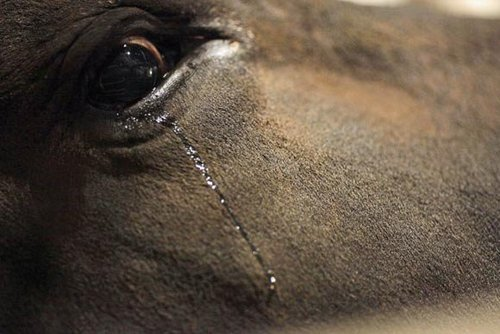 La corrida : un « art » au service de la cruauté animale