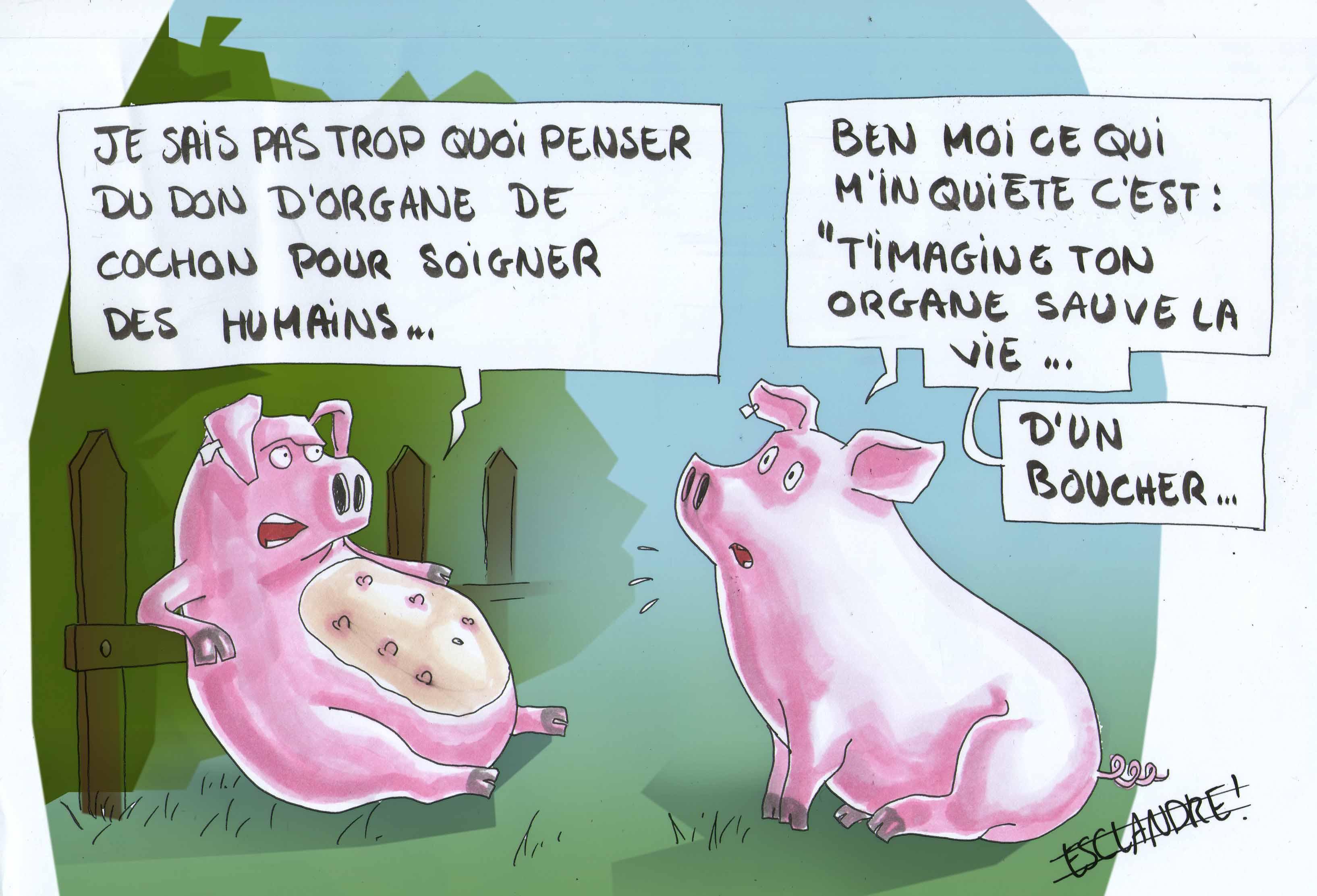 Que penser de la greffe d' organe de cochon ?