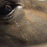 La corrida est une variante sanglante de l'immonde pratique qu'est la tauromachie. Le point d'orgue de cet « art » arriéré demeure la mise à mort de l'animal après de multiples sévices.